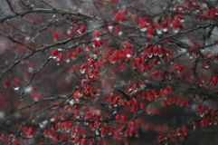 Frozen red berries Royalty Free Stock Image
