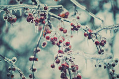 Frozen Red Berries on a Tree - Retro Stock Images