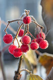 Frozen red berry Royalty Free Stock Photo