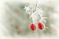 Free Frozen Red Berry In Winter Stock Photography - 9819912