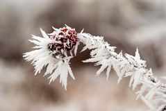 Frozen red berry in winter Royalty Free Stock Image