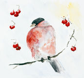 Frozen red bird Bullfinch and rowan berries Stock Image
