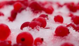 Frozen red currant berries. In the snow royalty free stock photography