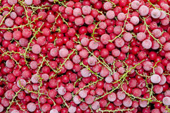 Frozen red currant Stock Photos