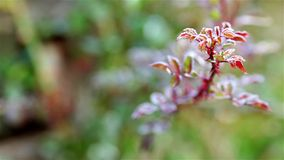 Frozen red flower leaf in the green garden stock footage