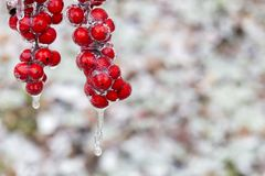The Frozen Red Fruit. In winter Royalty Free Stock Images