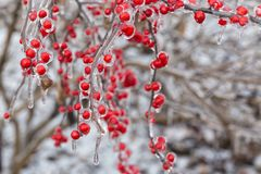 The Frozen Red Fruit. In winter Royalty Free Stock Photography