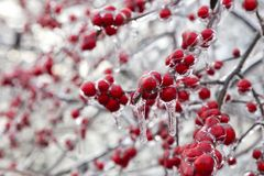 The Frozen Red Fruit stock image