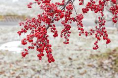 The Frozen Red Fruit. In winter Stock Images