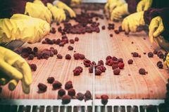 Frozen red raspberries in sorting and processing machines. Workers on the assembly line in sorting frozen raspberries Stock Photos