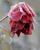 Frozen red rose. With it's petals sagging Royalty Free Stock Images