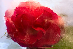 Frozen   red   rose flower Stock Image