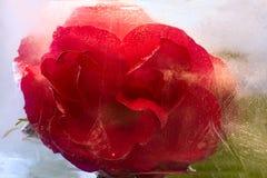 Frozen   red   rose flower Stock Image