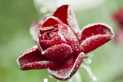 Frozen red rose with ice, on green backround Royalty Free Stock Photos