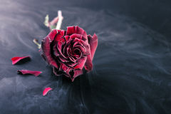 Frozen red rose Royalty Free Stock Image