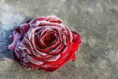 Frozen red rose on stone background Royalty Free Stock Images