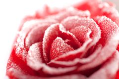 Frozen red rose in white frost. Rose petals in small ice crystals surrounding the flower Royalty Free Stock Photos