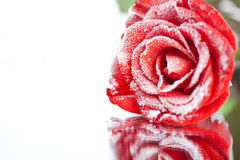 Frozen red rose in white frost lying on mirror Stock Photo