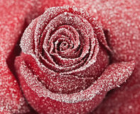 Frozen red rose Stock Photos