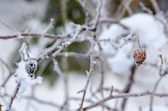 Frozen Red Rosehip On Branch Covered With Ice.  Stock Photos