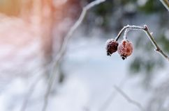 Frozen Red Rosehip On Branch Covered With Ice.  Royalty Free Stock Photography