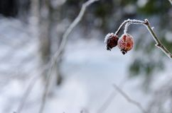 Frozen Red Rosehip On Branch Covered With Ice.  Royalty Free Stock Images