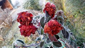 Frozen red roses with green leaves Stock Photography