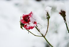 Frozen red roses under the snow Stock Photo