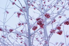 Frozen red rowan berry Royalty Free Stock Image