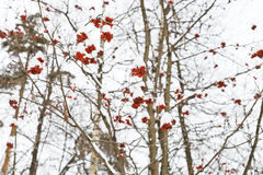 Frozen red rowan berry on tree Royalty Free Stock Photo