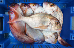 Frozen red snapper fish on display in Middle eastern fish market. Frozen fish on display in Middle eastern food market in Akko Acre Israel. Food background Royalty Free Stock Images