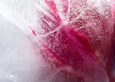 Frozen red tulip flower Stock Images