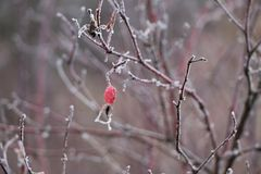 Frozen Red Wild Rose Berries On Thorny Branches Covered With Hoarfrost Royalty Free Stock Photos