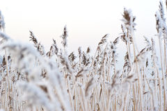 Frozen reed. A bunch of frozen reed an early winter morning Stock Image