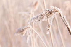 Frozen reed. Detail of a frozen reed against a blurred background Royalty Free Stock Photography