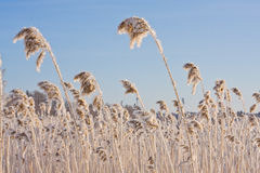 Frozen reed against blue sky Royalty Free Stock Photos