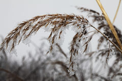 Frozen reed. Close view of frozen reed covered with white frost Royalty Free Stock Photo