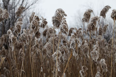 Frozen reed. Close view of frozen reed covered with white frost Royalty Free Stock Photos