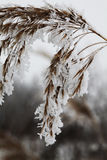 Frozen reed. Close view of frozen reed covered with white frost Stock Photos