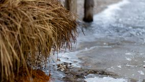 Frozen reed at the dock. In the wild nature stock photography