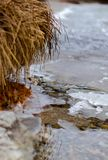 Frozen reed at the dock. In the wild nature royalty free stock image