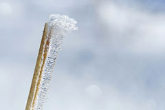 Frozen reed grass Stock Image