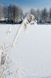 Frozen reed plant Royalty Free Stock Image