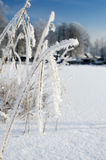 Frozen reed plant Royalty Free Stock Photo