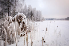 Frozen reed plants Stock Photos