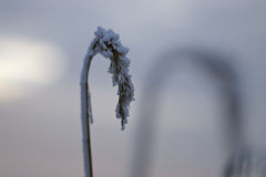Frozen reed plume Stock Photography