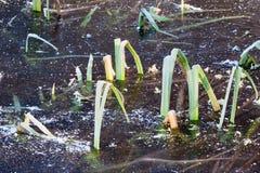 Frozen reed Stock Photos