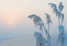 Frozen reed in winter at dawn Stock Images
