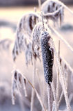 Frozen reeds. Winter cold and harsh, frozen reeds in the foreground Royalty Free Stock Image