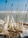 Frozen reeds in winter. Iced reeds on the shore of a lake Royalty Free Stock Images